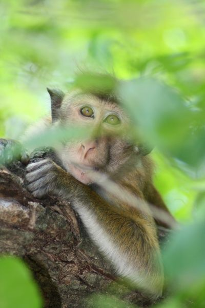Relaxing in the trees. Sri Lanka. toque macaque (Macaca sinica)